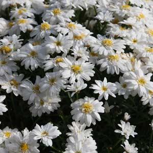Marguerite Daisy - Argyranthemum frutescens 'Madeira Double White'