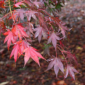 Japanese Maple Varieties Acer palmatum Osakazuki.