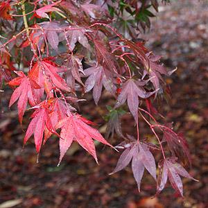 Japanese Maple Tree Varieties For Sale Nurseries Online Usa