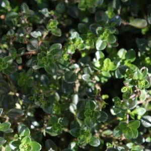 Herb Plants Nurseries Online