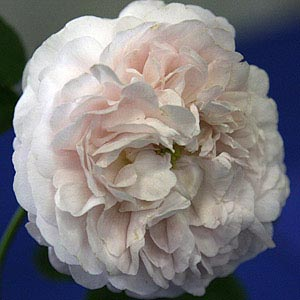 Duchess de montebello, A Gallica rose