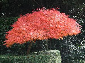 Dwarf Japanese Maples Varieties Nurseries Online Usa