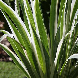 Iris pallida variegata foliage