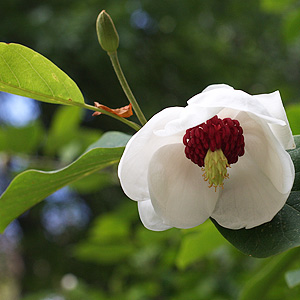 Magnolia sieboldii- flower and foliage