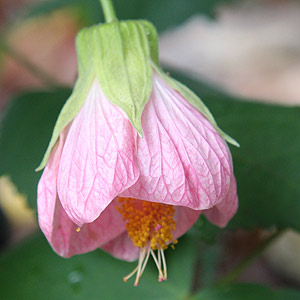 Abutilon The Flowering Maple Nurseries Online