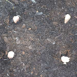 Planting Distance for Garlic - 5 inches