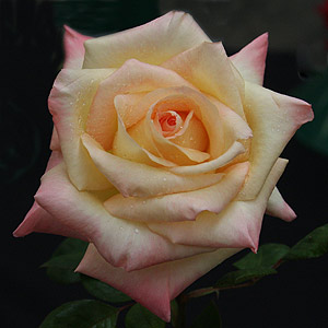 Rose Diana Princess of Wales