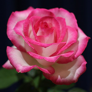 Top Ten Roses Best Roses And Best Rose Bushes For The Usa