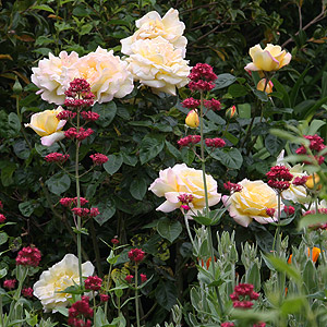 Rose Bushes For Sale Climbing Miniature And Knockout
