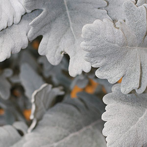 The Silver Foliage of Senecio cineraria