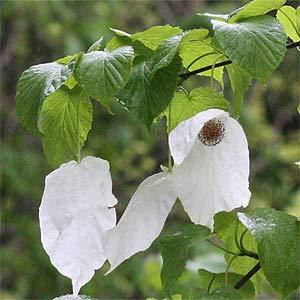 Spring Flowering Davidia involuctra