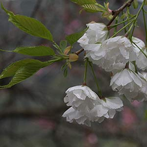 Japanese weeping cherry blossom trees nurseries online usa cherry blossom varieties white flowering cherry mightylinksfo Images