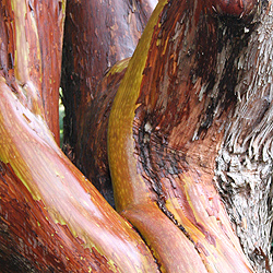 Arbutus x andrachnoides has a trunk that can be a landscaping feature
