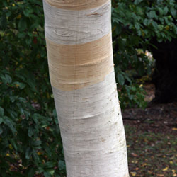 Betula jacquemontii is a wonderful Landscaping tree