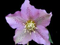 Hellebore Plants and Flowers   Nurseries Online
